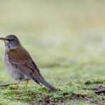 Amurtrast | Pale Thrush (Turdus pallidus) © Kristian Adolfsson bird birds nature photos photography images naturfotograf fågelfotograf natur fågel fotograf foton bilde; 20180309; JP, Japan | Nippon, Hiroshima Prefecture, Honshu, Hiroshima