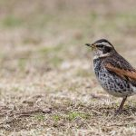 Bruntrast | Dusky Thrush (Turdus eunomus) © Kristian Adolfsson bird birds nature photos photography images naturfotograf fågelfotograf natur fågel fotograf foton bilde; 20180309; JP, Japan | Nippon, Hiroshima Prefecture, Honshu, Hiroshima